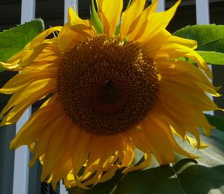 Sunflower by Joy Pedersen