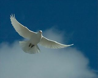White_dove-1 by Rob Palmer